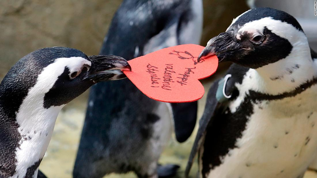African penguins compete for a heart-shaped valentine handed out by aquarium biologist Piper Dwight at the California Academy of Sciences in San Francisco on Tuesday, February 12. Hearts were handed out to the penguins, who naturally use similar material to build nests in the wild.
