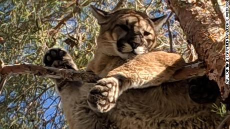 The mountain lion was spotted by a homeowner in Hesperia, California.