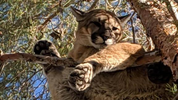 San Bernardino County Fire assisted San Bernardino County Sheriff and California Fish & Wildlife with a mountain lion in a tree outside a private residence on the 18000 block of Danbury Ave. in the city of Hesperia.