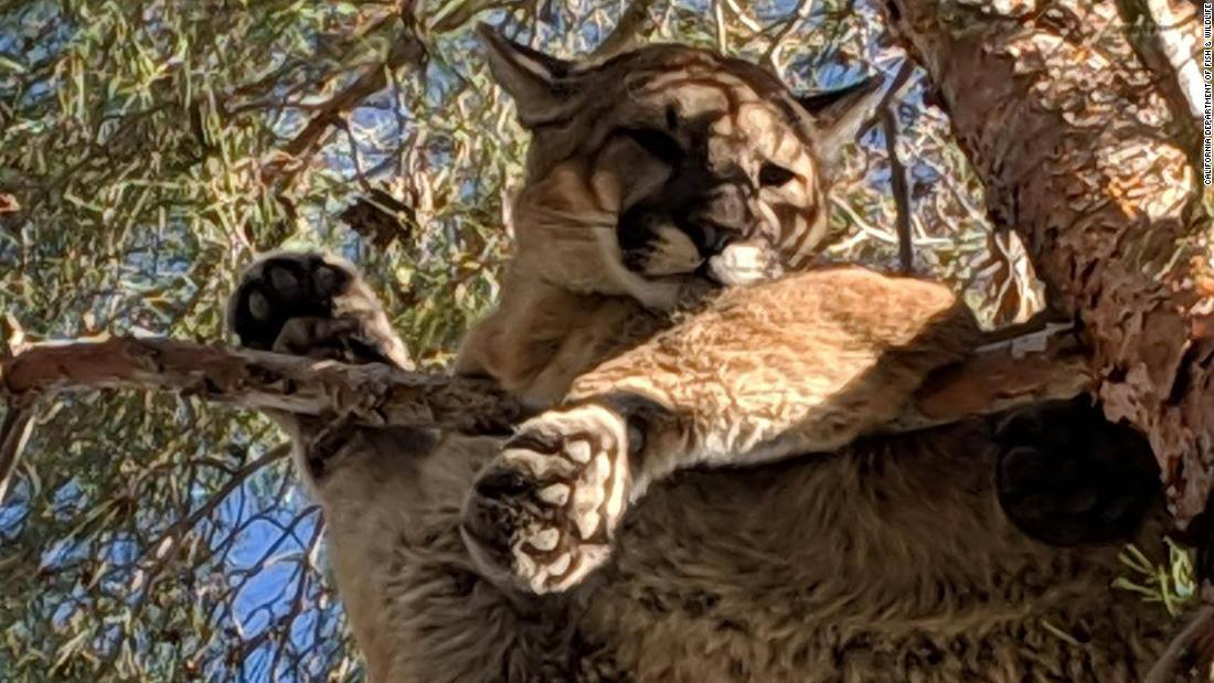 Mountain lion removed from tree in California backyard