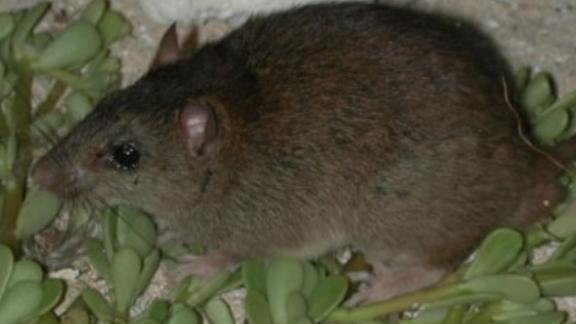 Bramble Cay melomys has been declared extinct as a result of climate change