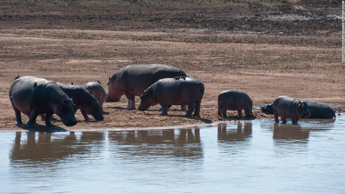 Zambia is culling over 2,000 hippos over five years