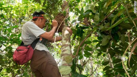 Iswan, the team's local guide, examines an arboreal termite mound containing the first rediscovered Wallace's giant bee and her nest.