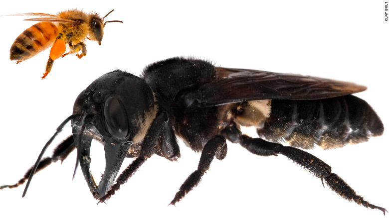 Image result for Wallace's giant bee Megachile pluto