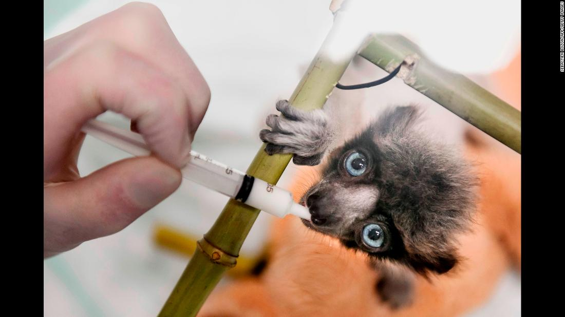 A veterinarian feeds Soa, a female crowned sifaka, at a zoo in Besancon, France, on Monday, February 18. The crowned sifaka is a critically endangered species from Madagascar.