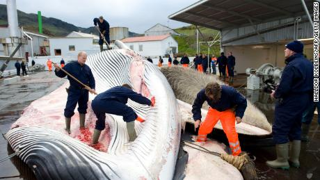 Whalers cut open a 35-ton fin whale in 2009, one of two caught by a Hvalur crew off the coast of Hvalfjsrour, north of Reykjavik, on the western coast of Iceland.