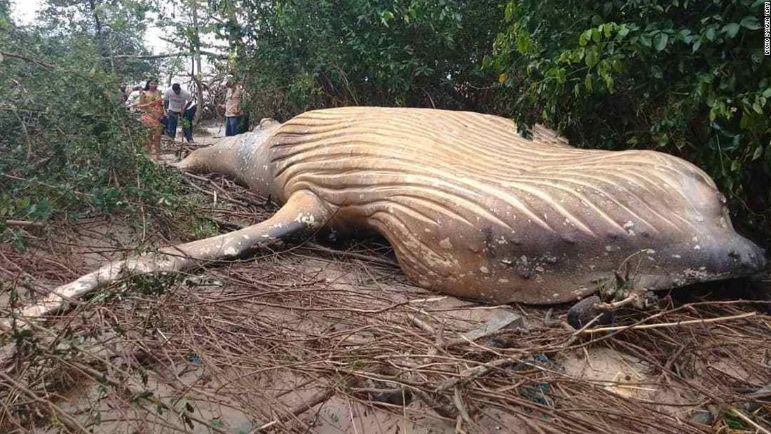 How a whale carcass ended up in a Brazilian forest
