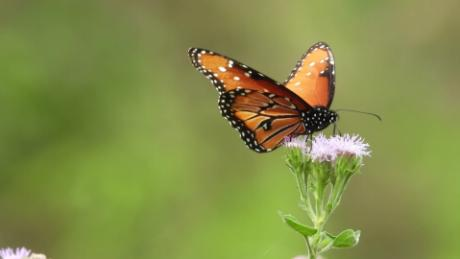 A study published Tuesday found that one-third of Ohio's butterfly population had died between 1996 and 2016. The results are troubling for more important pollinators like bees, researchers said.