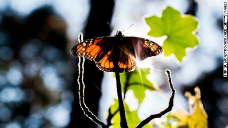 Monarch butterflies born in captivity have a tougher time migrating south in the winter