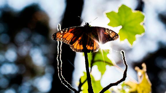 A Monarch butterfly (Danaus plexippus) is pictured at the oyamel firs (Abies religiosa) forest, in Ocampo municipality, Michoacan State in Mexico on December 19, 2016.  Millions of monarch butterflies arrive each year to breed at the oyamel firs forest in Michoacan State, after travelling more than 4,500 kilometres from the United States and Canada. / AFP / ENRIQUE CASTRO        (Photo credit should read ENRIQUE CASTRO/AFP/Getty Images)
