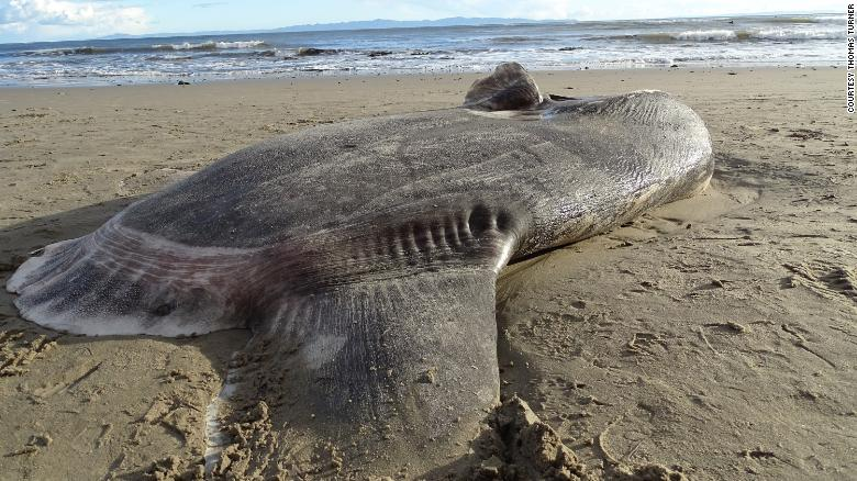 This hoodwinker sunfish washed up on a California beach, far from where it's usually seen.