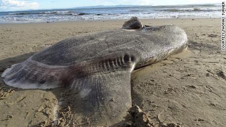 A huge, strange-looking fish washed up on a California beach. Scientists say it's a first