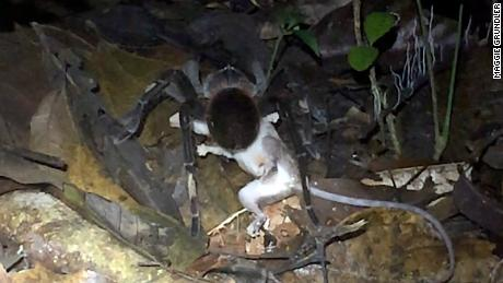 Scientists were excited to spot a huge spider eating an opossum, but you might have nightmares