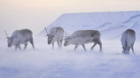 When rain freezes and forms ice, Svalbard's reindeer are at risk of starvation.