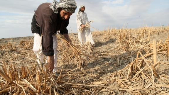 Iraqi marsh Arabs collect the remains of dried out reeds in the Hor or marshes on November 18, 2009. The inhabitants of these ancient marshes are suffering from the slow suffocation of the marshes due to drought triggered by climate change.