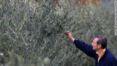 An olive oil farmer checks olives near Florence, Tuscany.