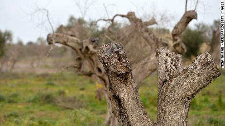 Olive trees infected by bacteria in Puglia in 2016.