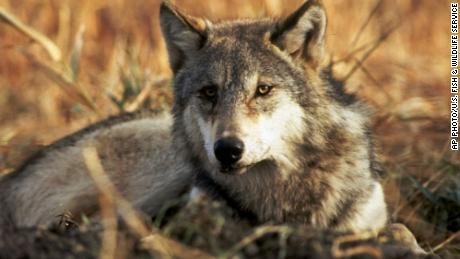 Today there are estimated to be more than 5,600 gray wolves in the contiguous United States.