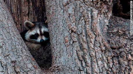 New York City health officials want you to keep your distance from creatures like this raccoon and other wild animals that can carry rabies.
