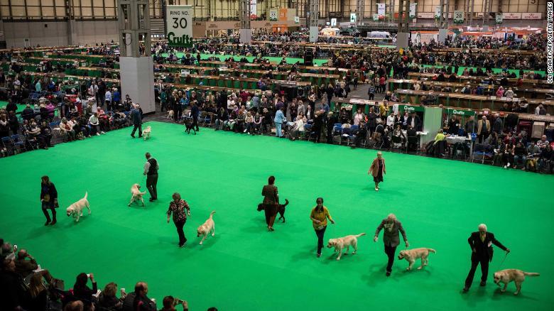 Labrador retriever dogs in the arena