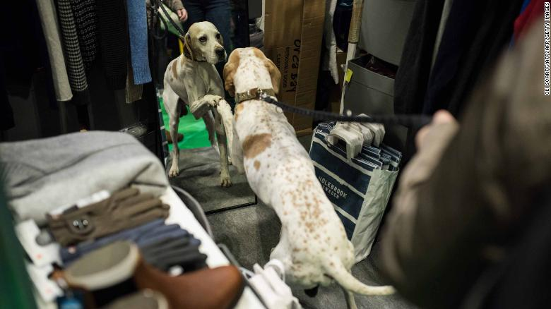 A pointer looks at itself in a mirror at Crufts.