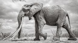 Huge 'Elephant Queen' captured on camera