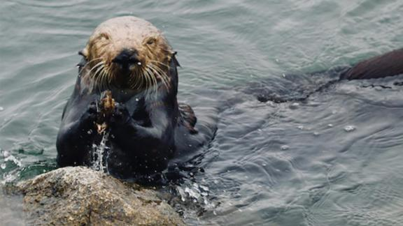 Sea otters use stone anvils to help crack open mussels.