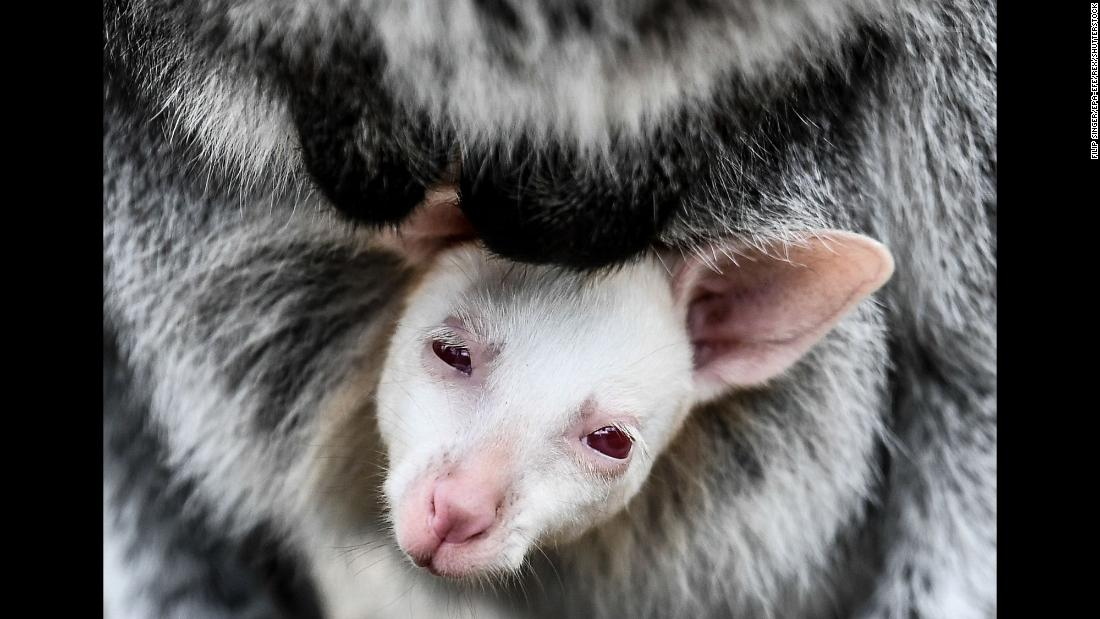 A young albino wallaby sits in its mother's pouch at a zoo in Decin, Czech Republic, on Wednesday, March 13.