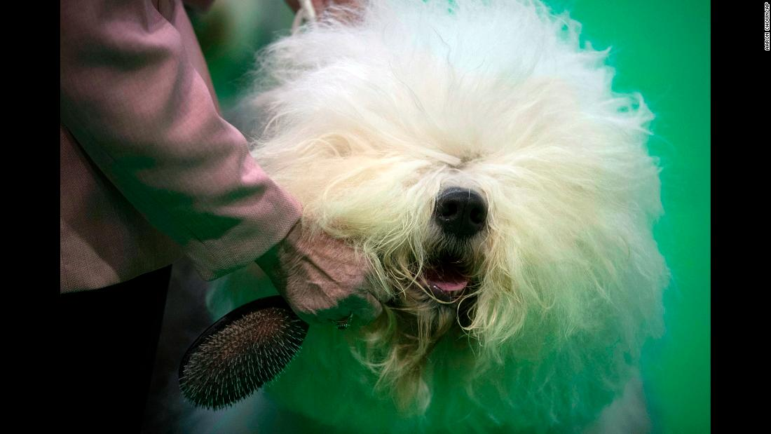 "An Old English sheepdog is groomed Friday, March 8, at the <a href=""https://www.cnn.com/2019/03/11/uk/crufts-gallery-2019-scli-intl-gbr/index.html"" target=""_blank"">Crufts Dog Show</a> in Birmingham, England."