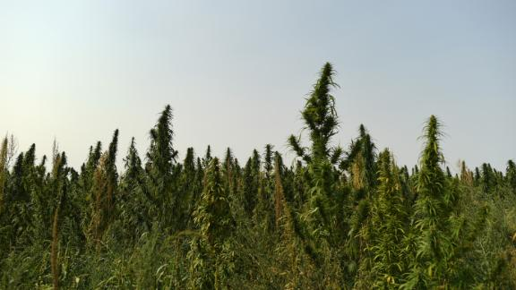 A hemp farm in Colorado.