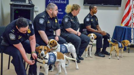 "Chaze, Cardie, Marlee and Chipper, as seen from left to right, graduate into the ""Beagle Brigade"" and wear their uniforms for the first time."