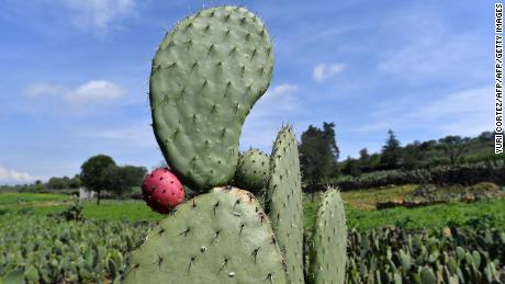 Mexico's 'green gold': The company powering cars with cactus juice