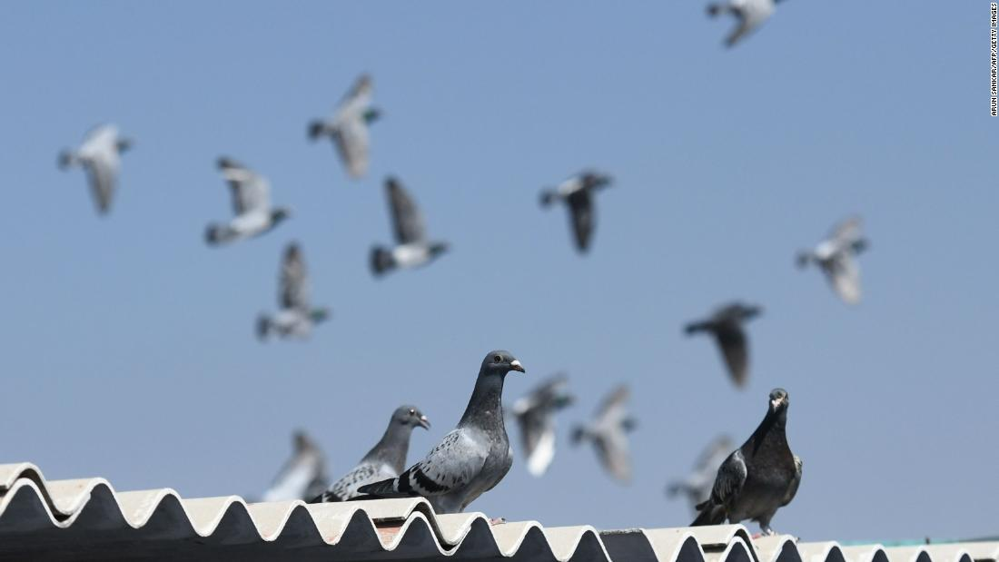 Chinese buyer bids $1.4 million for pigeon