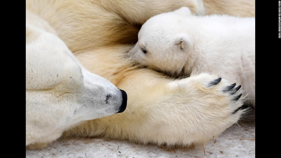 Polar bear Gerda lays with her 3-month-old cub at the Novosibirsk Zoo in Novosibirsk, Russia, on Tuesday, March 19.