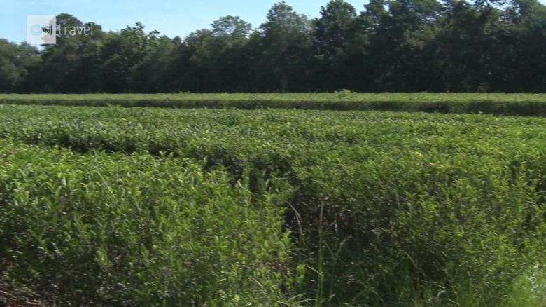 Exploring America's only commercial tea farm