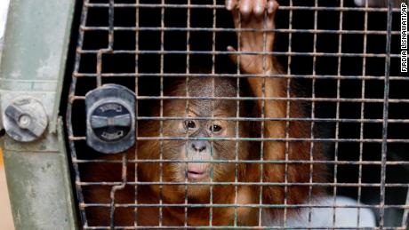 A two-year-old male orangutan is kept in a cage during a press conference in Bali, Indonesia Monday.