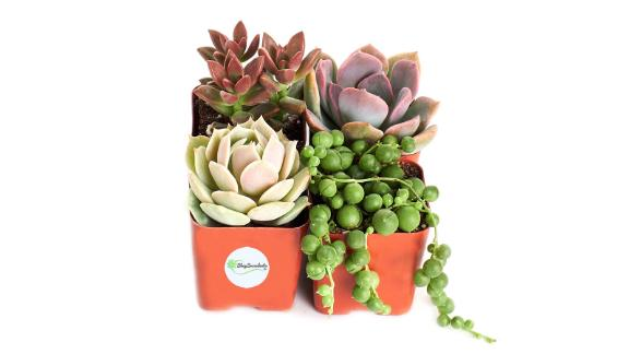 """<strong>A fresh succulent set to bring you good juju</strong> Good Juju Succulent Collection (4-Pack of 2-inch Succulents) ($14.99; <a href=""""https://amzn.to/2Olm339"""" target=""""_blank"""" target=""""_blank"""">amazon.com</a>)"""