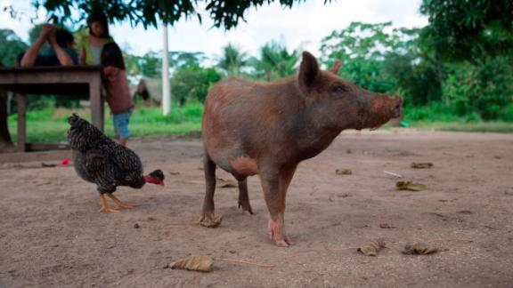 The Tsimane get most of their calories from carbs, not meat, because in the Amazon, farmed food is more certain, especially during a poor hunting season.