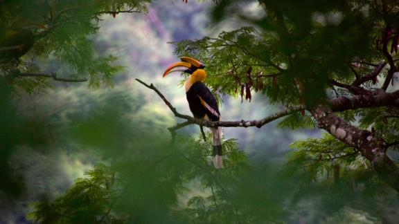 A Great Hornbill in India in