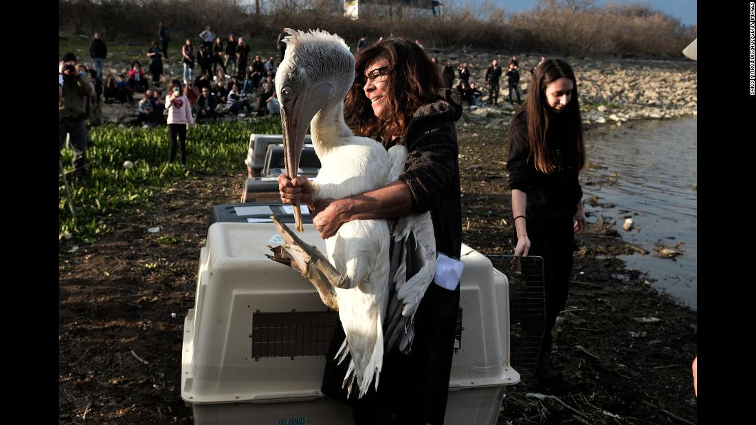 A woman holds a Dalmatian pelican as the endangered bird is reintegrated into the natural environment in Kerkini, Greece, on Saturday, March 23.