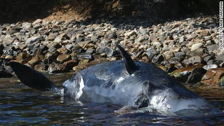 The sperm whale was found washed up on the Italian island of Sardinia.
