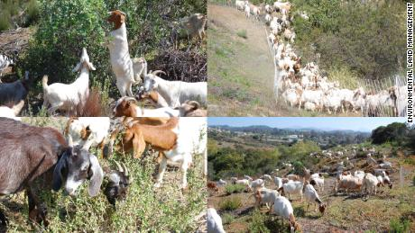 Environmental Land Management's goats hard at work around southern California.