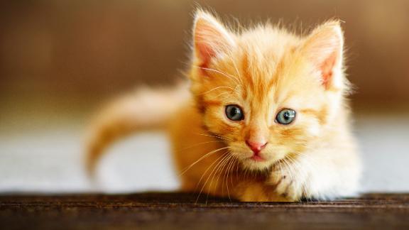 Cute Ginger Kitten Exploring the World; Shutterstock ID 1353582563; Job: -