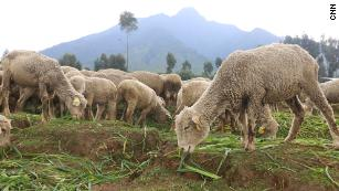 Merino sheep are imported from Kenya to Rwanda to be used for yarn