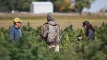 Après sa légalisation en décembre, le chanvre est devenu l'une des cultures les plus lucratives pour les agriculteurs américains.