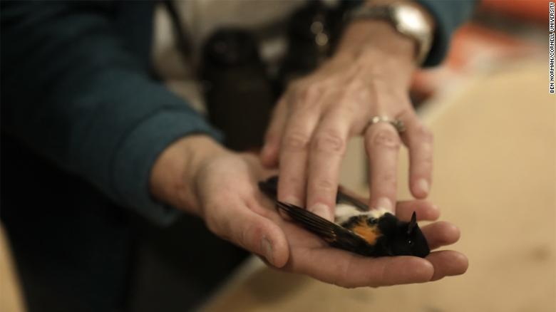 An American redstart killed in a building collision