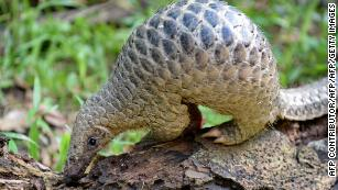 The Covid-19 culprit is us, not pangolins