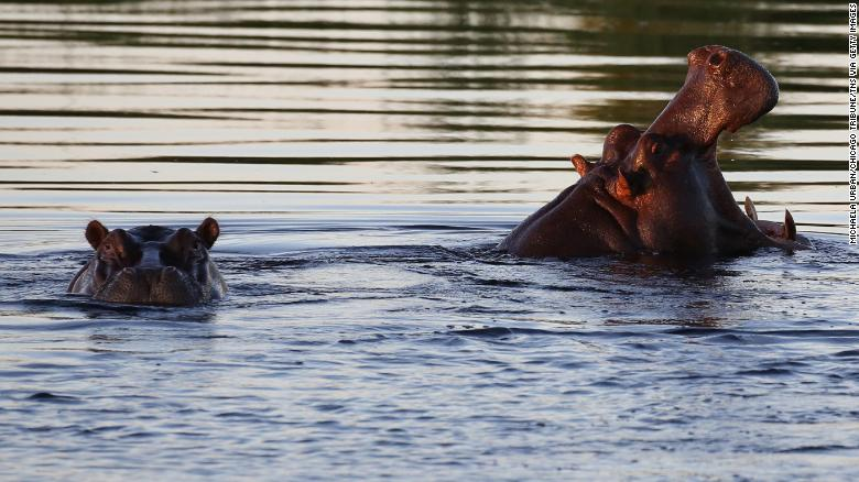 Hippos swimming in Namibia's Kwando River.