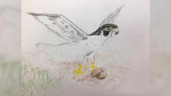 Robert Vallieres takes art classes and enjoys drawing peregrine falcons. He's dedicated his life to the conservation of birds of prey in New Hampshire.