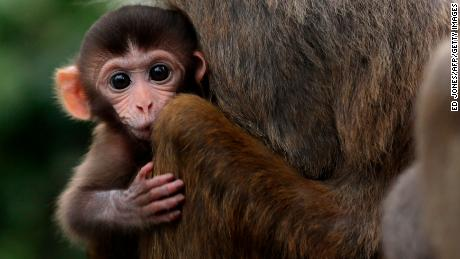 A baby rhesus macaque monkey looks out from the arms of its mother in Hong Kong on July 17, 2011.